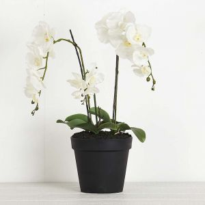 Potted Orchid Phalaenopsis