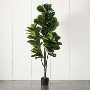 Potted Ficus XL