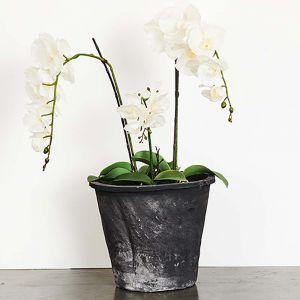 Blom Azalea Large Pot