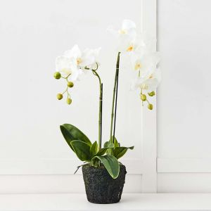 Blume 2 Stem Orchid