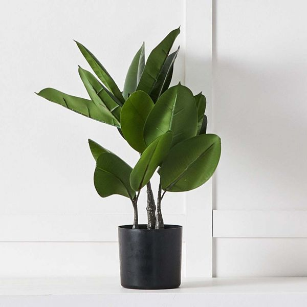 Potted Rubber Fig