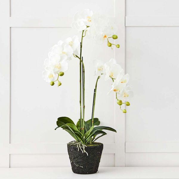 Blume 3 Stem Orchid